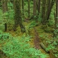 The trail to the falls is a narrow path through an encroaching understory.- Triple Creek Falls