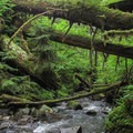 Triple Creek disappears into a dense and verdant ecosystem.- Triple Creek Falls