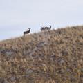 Mule deer along the East Moraine.- East Moraine, Wallowa Lake