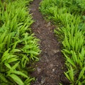 The Boulder River Trail winds through a dense section of maidenhair fern.- Boulder River Trail