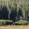Deer Grazing in Tuolumne Meadows.- Tuolumne Meadows