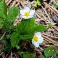 Blooming wild strawberry.- Green Springs Loop