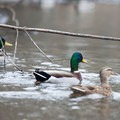 Ducks line the banks during the winter months.- Sammamish River Kayak/Canoe