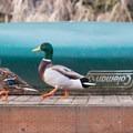 Ducks walk along a dock on the Sammamish River.- Sammamish River Kayak/Canoe