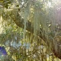 Spanish moss.- Skyline Park to Lake Marie Loop