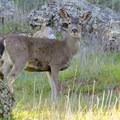 Local deer are accustomed to hikers.- Skyline Park to Lake Marie Loop