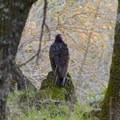 Turkey vulture (Cathartes aura).- Skyline Park to Lake Marie Loop