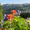 Lupine (Lupinus), magenta paintbrush (Castilleja parviflora), golden aster (Heterotheca villosa) at treeline. - Mount Baker via Coleman Glacier