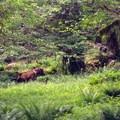 Elk heard in the Quinault Rainforest.- Anderson Glacier via Enchanted Valley