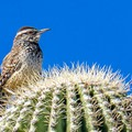 This cactus wren spends its entire life on and among the cacti, and it seems not to mind the spines.- Twin Peaks Campground