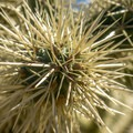Look but don't touch! These cholla cacti have barbed spines that are very painful and difficult to remove.- Twin Peaks Campground