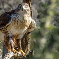 The Sonoran Desert Museum with it's popular raptor show is a must-see when in the area.- Gilbert Ray Campground