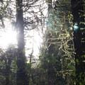 Sun shining through moss just before sundown.- Whipple Creek Park