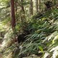 Sword ferns line the Gwynn Creek Trail- Cook's Ridge + Gwynn Creek Trail