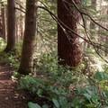 Salal and sword fern dominate the understory.- Cook's Ridge + Gwynn Creek Trail