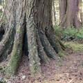 Huge roots from an old-growth tree on the Gwynn Creek Trail.- Cook's Ridge + Gwynn Creek Trail
