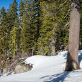 The trail climbs in a forest of red and white fir trees.- Donner Peak + Mount Judah
