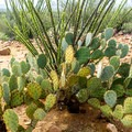 Prickly pear cactus and ocotillo are also distinctive plants of the Sonoran Desert.- Signal Hill Petroglyphs