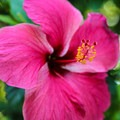 A hibiscus flower shows a little color in the West End.- West End, Roatan