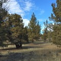 Juniper trees on the Central Oregon plateau.- Scout Camp Trail