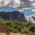 While this guy won't talk, you will hear coyotes at night in Lost Dutchman!- Lost Dutchman State Park Campground