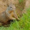 Ground squirrel.- Suisun Hill Trail Hike
