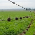 Cows use the barbed wire to scratch themselves.- Suisun Hill Trail Hike