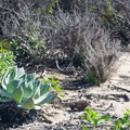 Chalk lettuce (Dudleya pulverulenta).- Dana Point Headlands Conservation Area