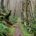 Coastal rainforest of young sword ferns, Douglas firs, and red alders.- Gales Creek Trail