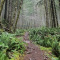 Sword ferns along the trail.- Gales Creek Trail