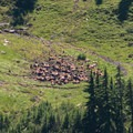 A herd of elk.- High Divide Loop