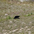 Black bear along the High Divide Loop.- High Divide Loop