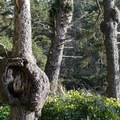 Walk through spruce burls on the way to the beach.- Kalaloch Beach 1