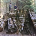 Remnants of the milling days: the trunk of a giant sequoia (Sequoiadendron giganteum).- Atwell Mill Campground