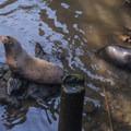 California sea lions (Zalophus californianus) below Northwest Sardines Company.- Astoria Riverwalk Trail