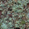 Many types of lichen grow on tree bark.- Peabody Creek Loop Trail