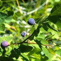 Blueberries are abundant at certain times of the year.- High Divide Loop