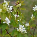 Western serviceberry.- Chimney Rock Campground