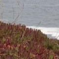 Coastal California's ubiquitous ice plant. - Bodega Head