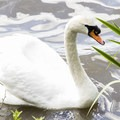 A swan elegantly surveying Lost Lagoon.- Stanley Park