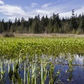 The marshy edge of Beaver Lake in the center of the park.- Stanley Park