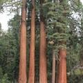 Giant sequoias of Grant Grove.- Azalea Campground