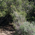 California sagebrush (Artemesia californica) along the trail.- Mission Trails Regional Park, Visitor Center Loop