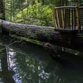A perch above a log provides visitors a chance to watch the fish below.- Capilano Suspension Bridge Park