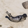 A seal basks in the sun.- Children's Pool
