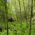 The Point Reyes rain forest.- Sky Trail Loop, Bear Valley to Mount Wittenberg