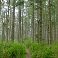 Walking through the tall fir trees.- Sky Trail Loop, Bear Valley to Mount Wittenberg