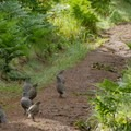 Quail along the trail.- Sky Trail Loop, Bear Valley to Mount Wittenberg