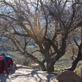 This oak tree, about two thirds of the way to Potato Chip Rock, is a popular rest stop.- Potato Chip Rock, Mount Woodson