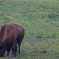 Buffalo in the Bison Paddock.- Golden Gate Park